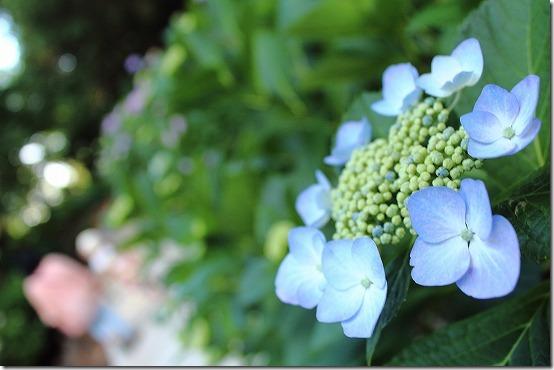 紫陽花と18-55mmのボケ味 KISS X6i