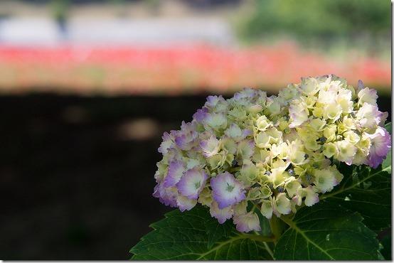 オリンパス 14-150mmで紫陽花
