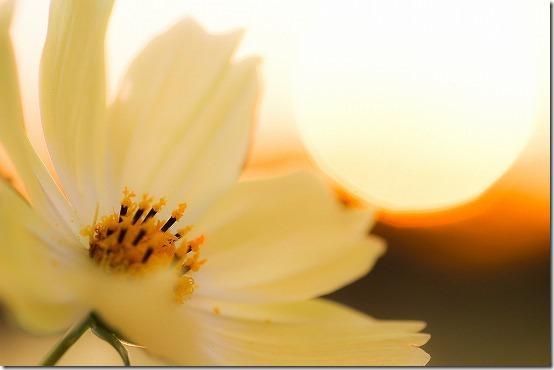 タムロン90mmとEOS Mで夕日の黄花コスモス