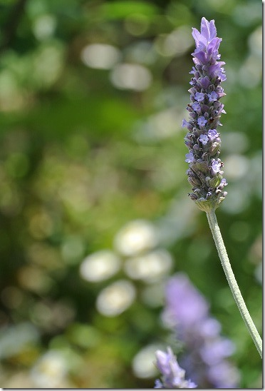 NIKON1 望遠レンズでお花を撮影 マクロ替わりに?