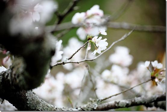 桜を綺麗に撮ってみよう!?