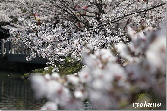 桜を綺麗に撮ってみよう!!撮れるかな?