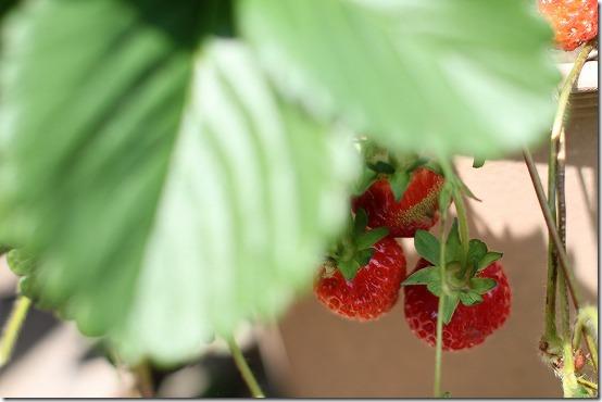 50mm単焦点でイチゴや野菜を、うまく撮れるかな?