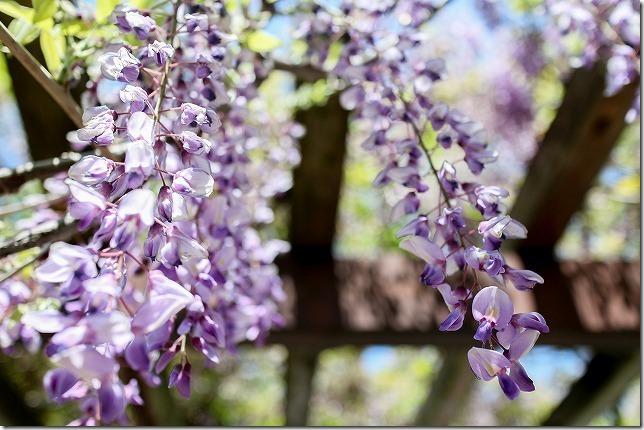 藤の花を綺麗に撮ってみよ!