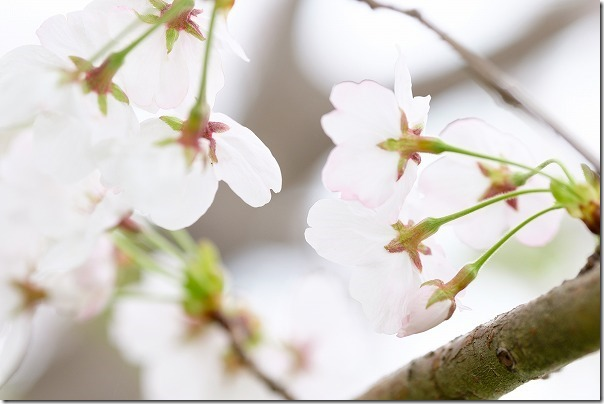 桜、X-T1とXF90mm