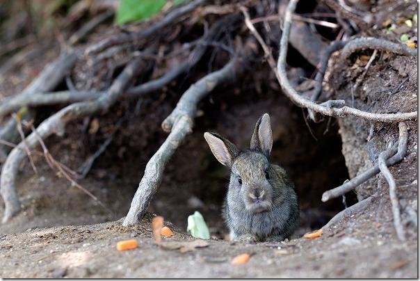 大久野島の巣穴からでた子うさぎの写真