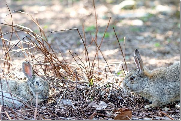 大久野島の2匹のうさぎの写真