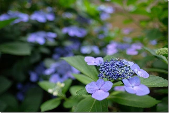 XF16mmF1.4WRで紫陽花