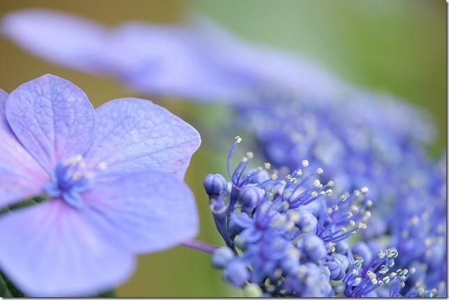 フジノンレンズ、XF80mmF2.8、マクロレンズで紫陽花