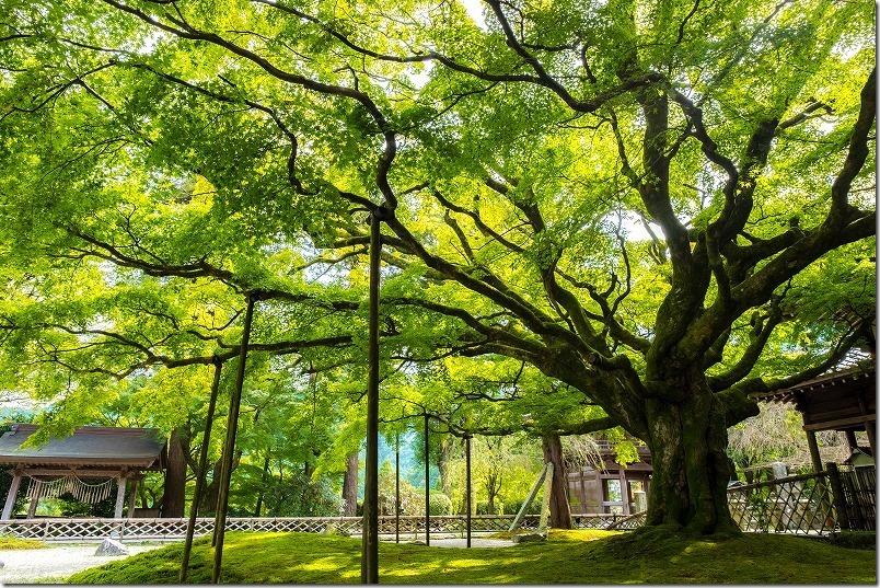 木の広がりと青葉をXF14mmで撮影