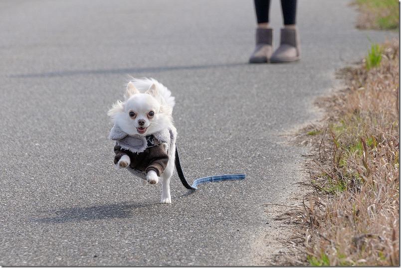 FujiFilm,X-T1+SIGMA,18-200mmで動体、走る犬
