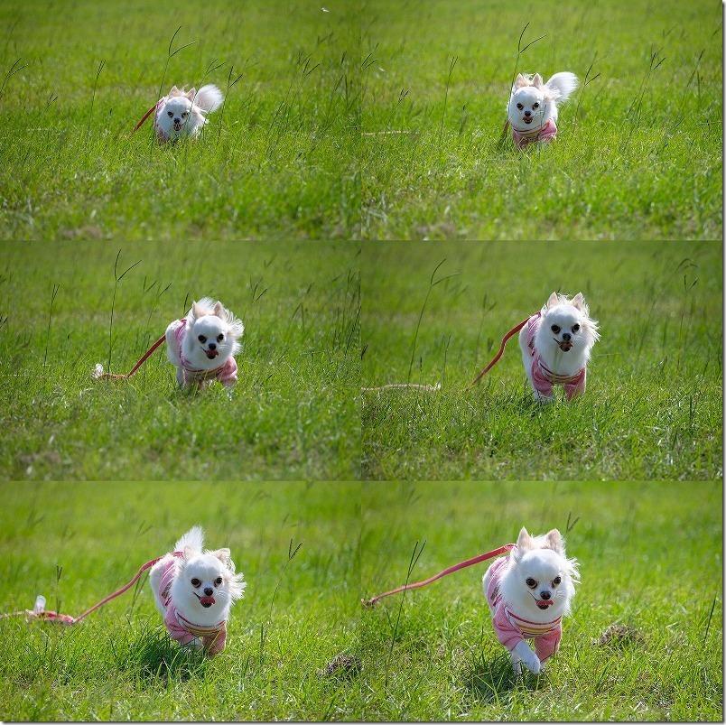 犬をAF-Cで追随撮影X-T2とSIGMA18-200mm,Xマウントアダプタ