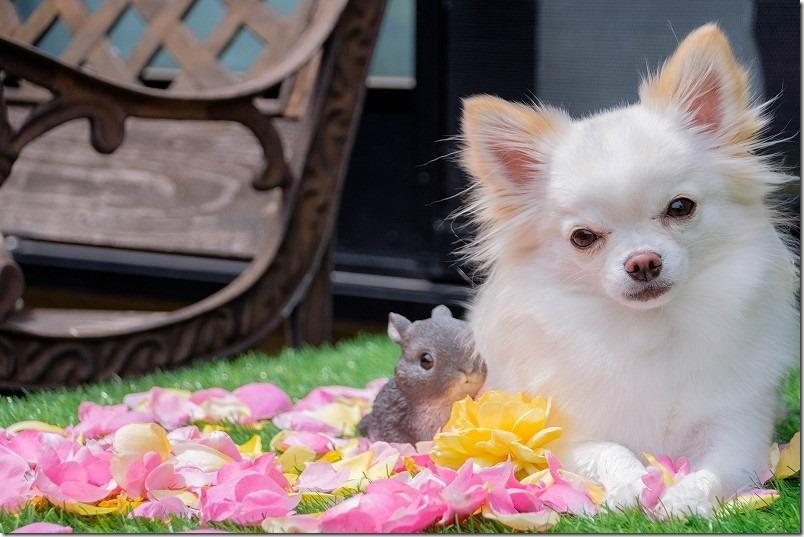 便利ズームで犬と薔薇を撮る,SIGMA18-200mm