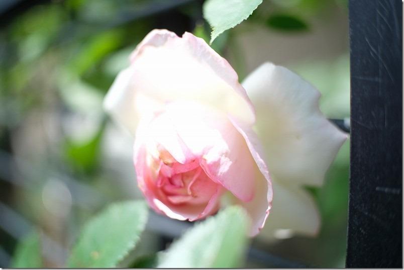 薔薇を七工匠(7artisans)の25mm f1.8で撮ってみる