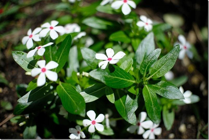 小さな花を七工匠(7artisans)の25mm f1.8で撮ってみる