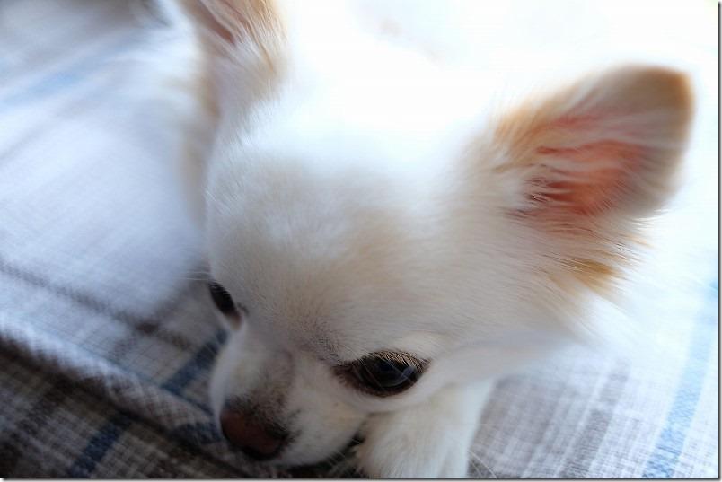 Touit32mmF1.8で犬撮影